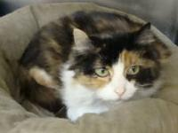 Calico - Pearl - Medium - Adult - Female - Cat 3 year