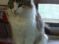Calico - Placida - Medium - Adult - Female - Cat