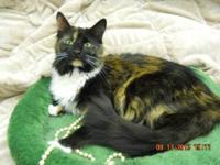 Calico - Pretty Girl - Medium - Adult - Female - Cat