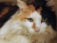 Calico - Princess - Medium - Adult - Female - Cat All
