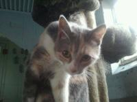 Calico - Prissy - Small - Young - Female - Cat Meet