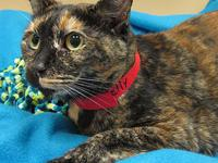 Calico - Puddles - Small - Adult - Female - Cat