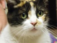 Calico - Puddy Cat - Medium - Senior - Female - Cat --