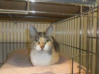 Calico - Pumpkin - Medium - Young - Female - Cat Meet