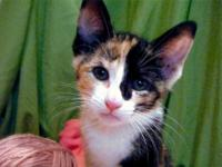 Calico - Rainbow - Medium - Baby - Female - Cat C51