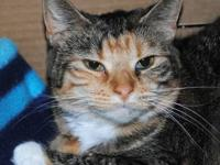 Calico - Sally - Medium - Adult - Female - Cat Hello -