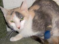 Calico - Skiddles - Small - Adult - Female - Cat