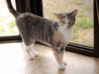 Calico - Skyler - Small - Adult - Female - Cat