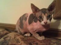 Calico Sphynx female kitten available. She is out of a