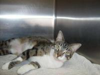 Calico - Spot - Small - Young - Female - Cat Spot is a