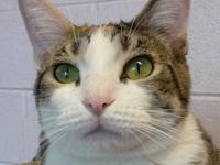 Calico - Sugar - Large - Adult - Female - Cat Sugar has