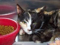 Calico - Summer - Medium - Young - Female - Cat Summer