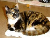 Calico - Summer - Small - Young - Female - Cat SUMMER