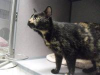 Calico - Sundae - Medium - Adult - Female - Cat 'Almost
