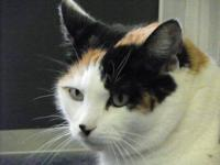 Calico - Sushi - Large - Young - Female - Cat Born
