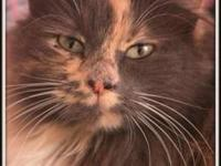 Calico - Sweetie - Medium - Young - Female - Cat