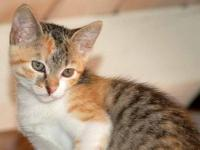 Calico - Tabitha - Medium - Baby - Female - Cat Tabitha