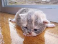 We are selling one Calico female teacup Persian