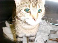 Calico - Trina - Large - Adult - Female - Cat Trina is