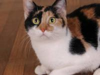 Calico - Valenshy - Small - Adult - Female - Cat