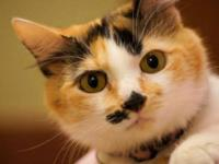 Calico - Vanessa (22413) - Small - Young - Female -