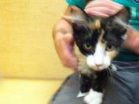 Calico - Viky - Medium - Baby - Female - Cat I am a
