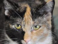 Calico - Zola - Medium - Young - Female - Cat We have