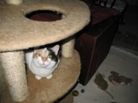 Calico - Irene - Medium - Adult - Female - Cat Look