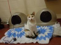 Calico - Kelly - Small - Adult - Female - Cat Very