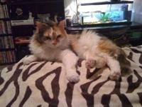Calico - Simba - Small - Adult - Female - Cat Hello,