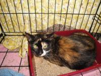 Calico - Tink - Medium - Adult - Female - Cat Tink came