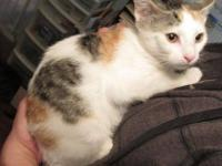 Calico - Tinsel - Small - Baby - Female - Cat Tinsel
