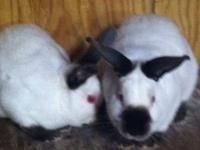 California Rabbits ? we have several California rabbits