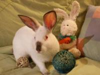 Californian - Arthur - Large - Young - Male - Rabbit