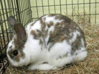 Californian - Barney - Medium - Young - Male - Rabbit