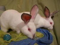 Californian - Captain - Large - Young - Male - Rabbit