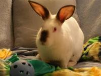 Californian - Charm - Large - Young - Male - Rabbit I'm