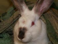 Californian - Cheerio - Large - Young - Male - Rabbit