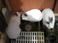 Californian junior rabbits for sale. Three bucks and