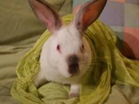 Californian - Pepper - Large - Young - Male - Rabbit