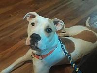 Calli's story Calli is a shy 7 or 8 month pit mix. She