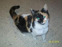 CALLIE--adopted's story CALLIE is a gorgeous calico who