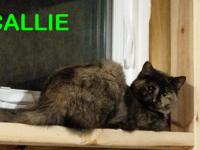 CALLIE FF24917 - DSH Tortie, Fixed Female - DOB