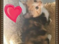 Beautiful female, 8 weeks old shots, wormed, bathed,