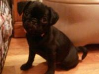 Callie is a AKC Black Female Pug. She was born 9-14-14.