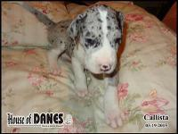 Callista is one of a litter of 14 Great Dane puppies