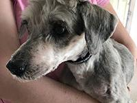 Calloway is a 12 year old Miniature Schnauzer and was