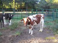 3 holstein steers weighing 375lbs-425lbs asking $375.00