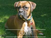 Calvin 1 Year Old Dark Fawn w/Blk Mask Natural Tail and