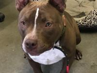 Calvin is a 1-year-old, neutered American Pit Bull